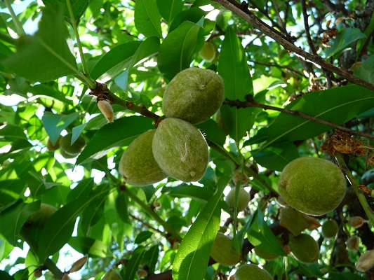 Almond Nut suppliers - Cultivation