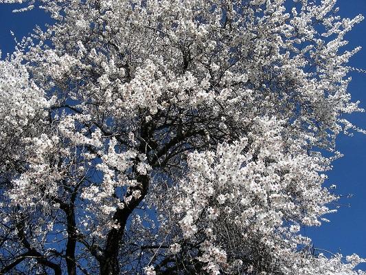 Almond nut supplier - Trees