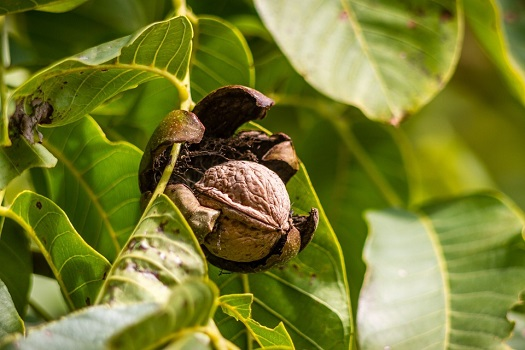 Walnut Ripening