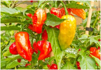 A Brief Guide on Pepper Production